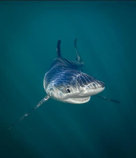 """""""El tiburón azul sonriente"""" - Tanya Houppermans"""