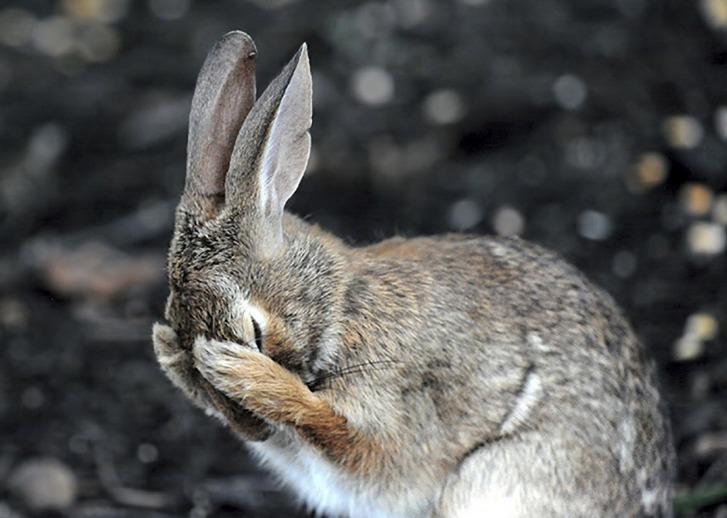 El conejo entró en la lista de especies en peligro de extinción