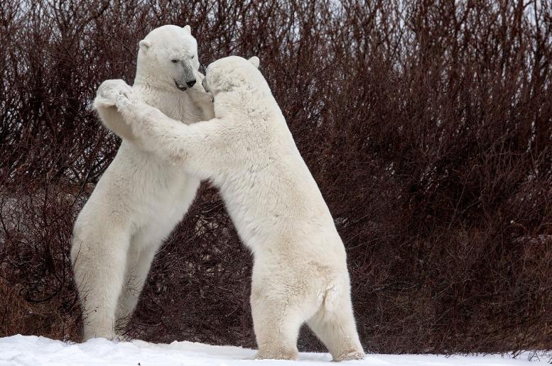 """""""Baile con osos"""" - Luca Venturi"""