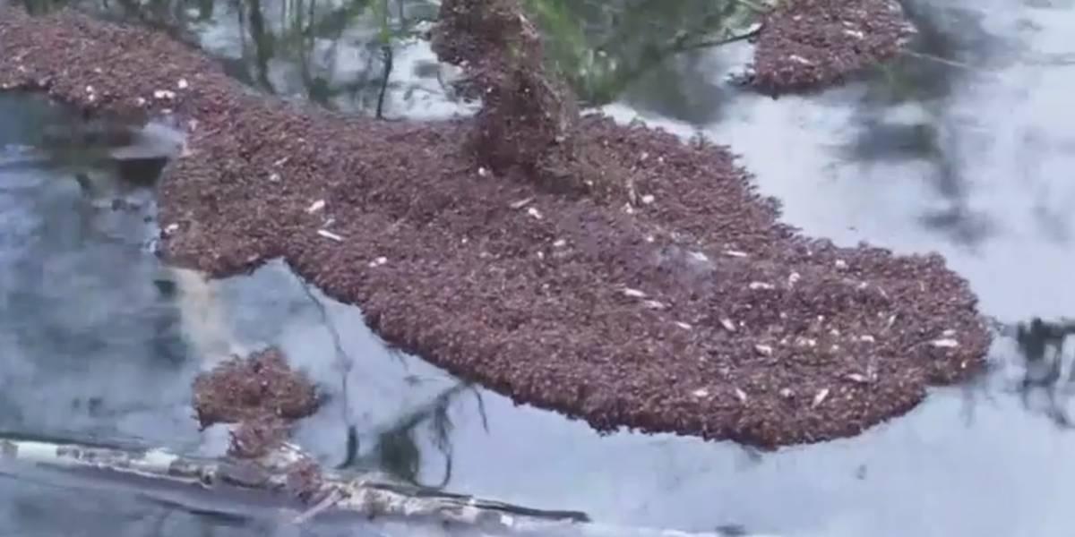 """Puro trabajo en equipo: Hormigas de fuego forman """"balsas"""" flotantes para resistir el paso de Florence"""