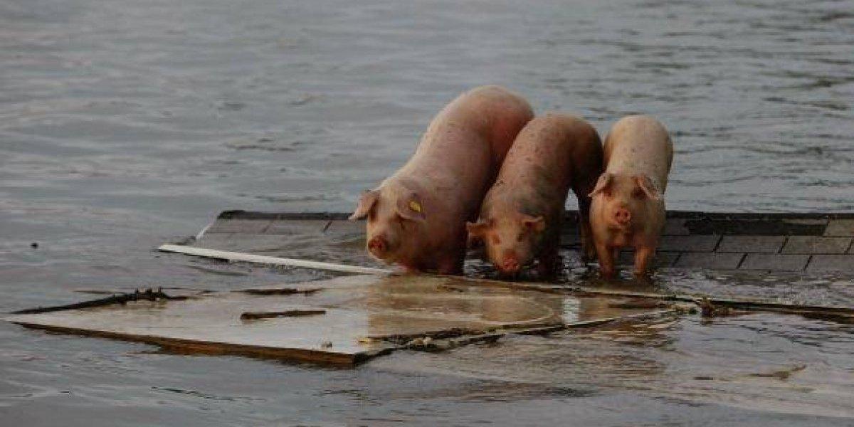 Las otras víctimas de Florence: más de tres millones de pollos y cinco mil cerdos murieron tras el paso del huracán