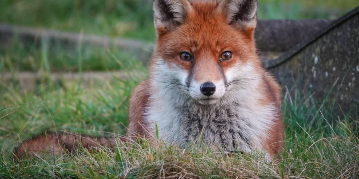 La firma del zorro se hizo realidad: Tras tres años de investigaciones se resuelve el misterio del asesino serial de gatos en Inglaterra