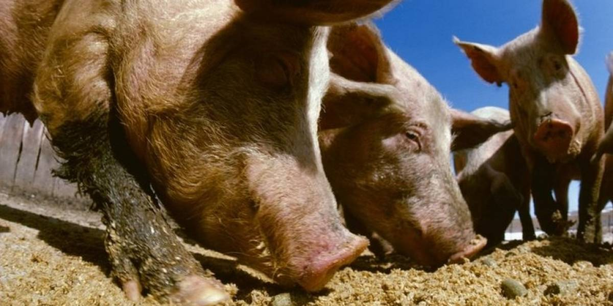 Após furacão Florence, vazamentos em lagoas com fezes de porcos preocupam EUA