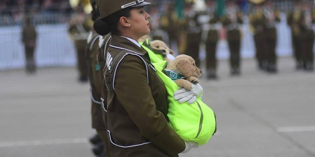 """Cachorros de Carabineros en la Parada Militar lograron fama internacional: los """"police puppies"""" se robaron el corazón del mundo"""