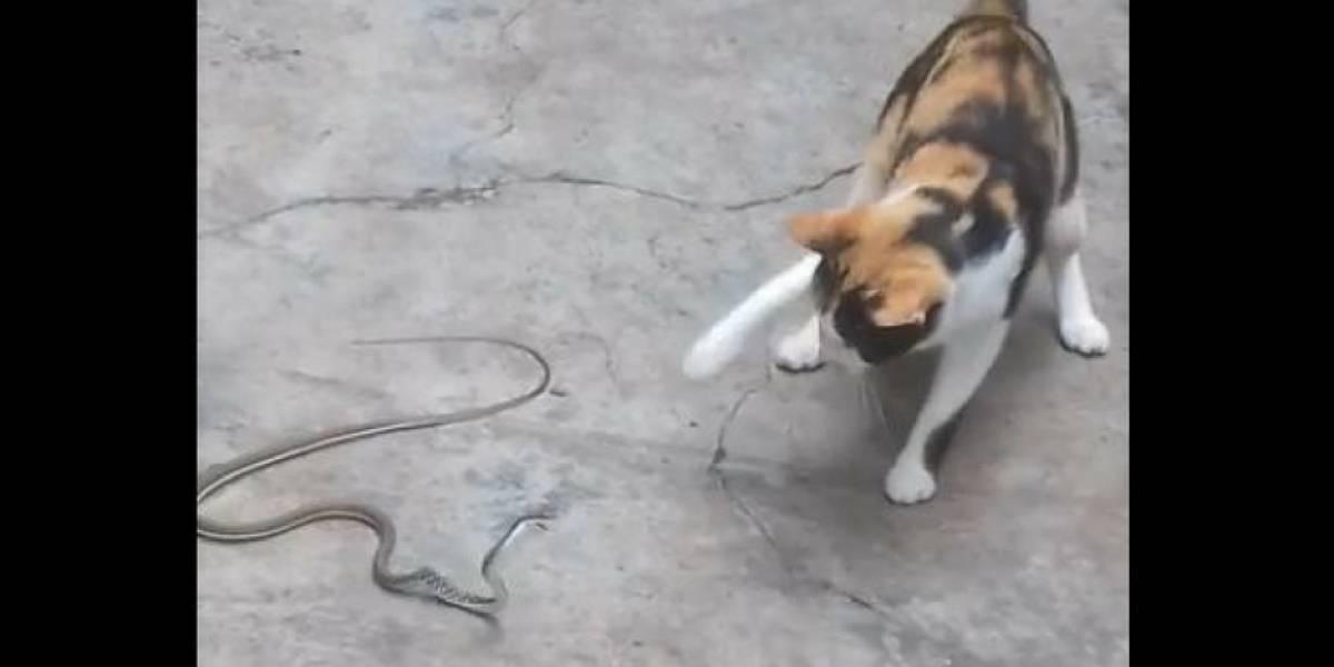 Video de pelea entre gato y serpiente se viraliza en redes