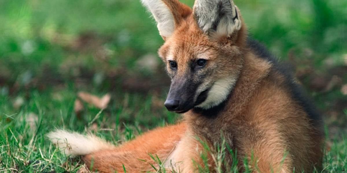 Pensaron que se comería a sus mascotas: adolescentes mataron a palazos a un animal peligro de extinción