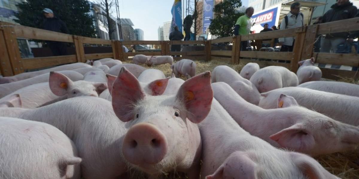 Bélgica prevé sacrificar 4 mil cerdos como prevención por peste porcina africana