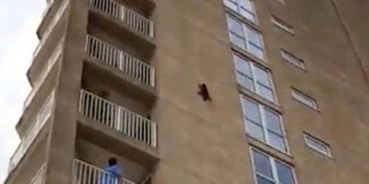 """Temerario animalito: el increíble momento en que mapache """"decide"""" saltar después de escalar edificio de nueve pisos"""