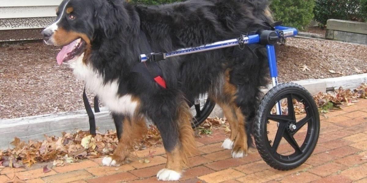 ¿Cómo manejar la paraplejia en perros?