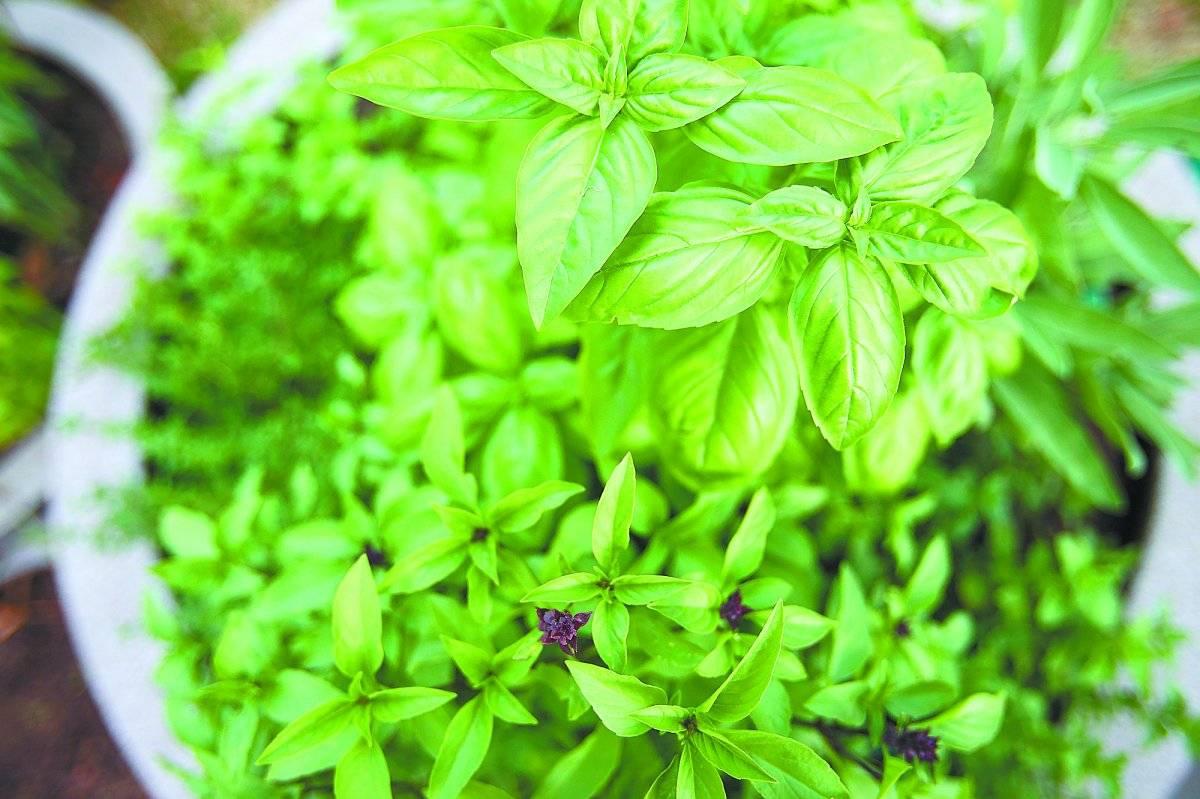 Manjericão: São fartas e costumam produzir bastante folhas, garantindo rotineiramente um toque especial para saladas, molhos e fica ótimo em sucos!