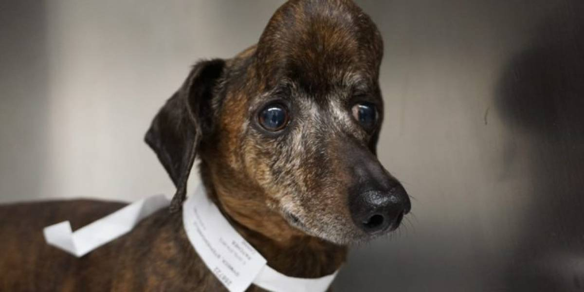 Perro salchicha pudo librarse de un gran tumor cerebral luego de que le imprimieran un cráneo