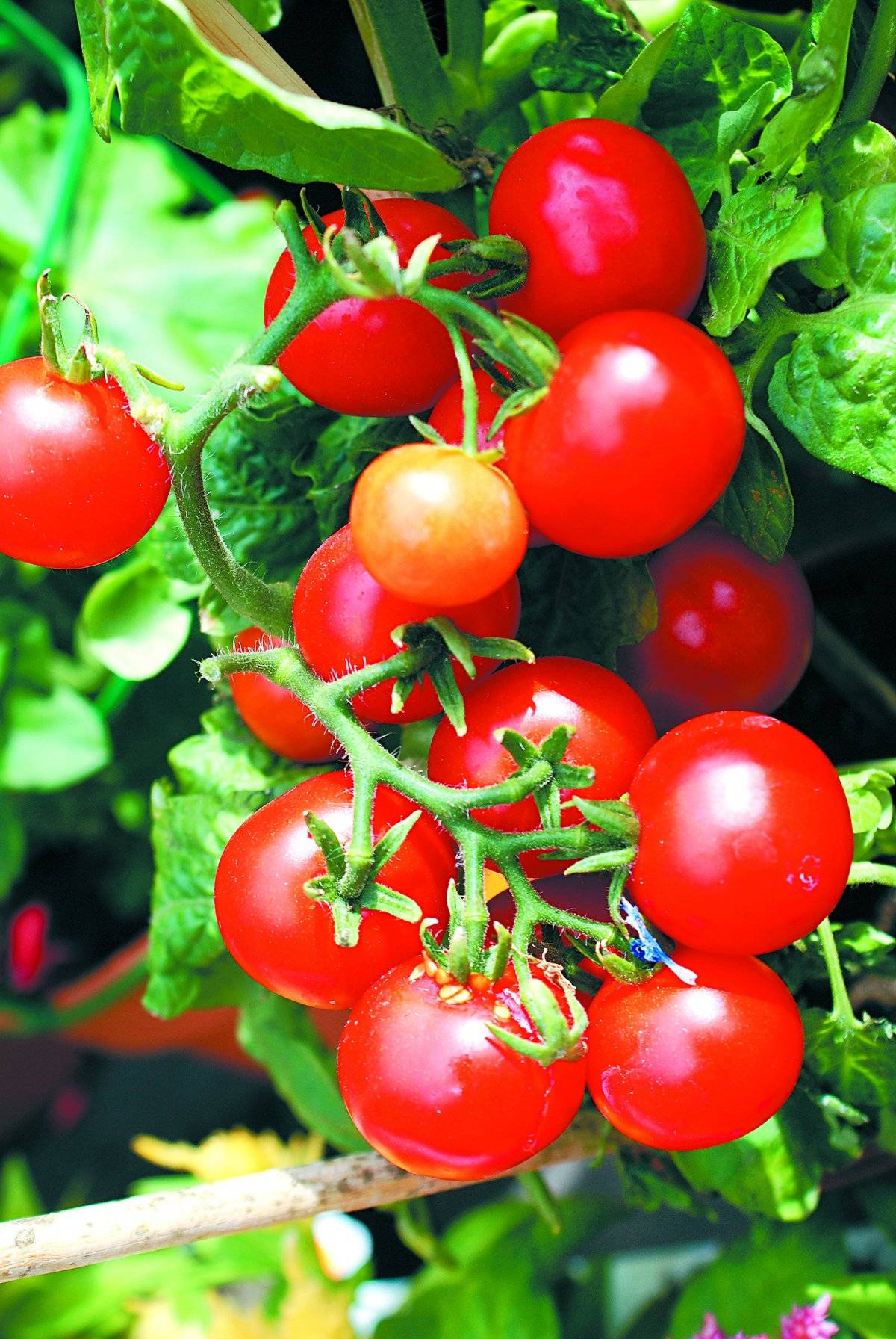 Tomate-cereja: São plantas que podem ser cultivadas em vasos de tamanho reduzido. Em pouco mais de um mês, já dão frutos, que podem ser usados em saladas ou para fazer molhos para massas.