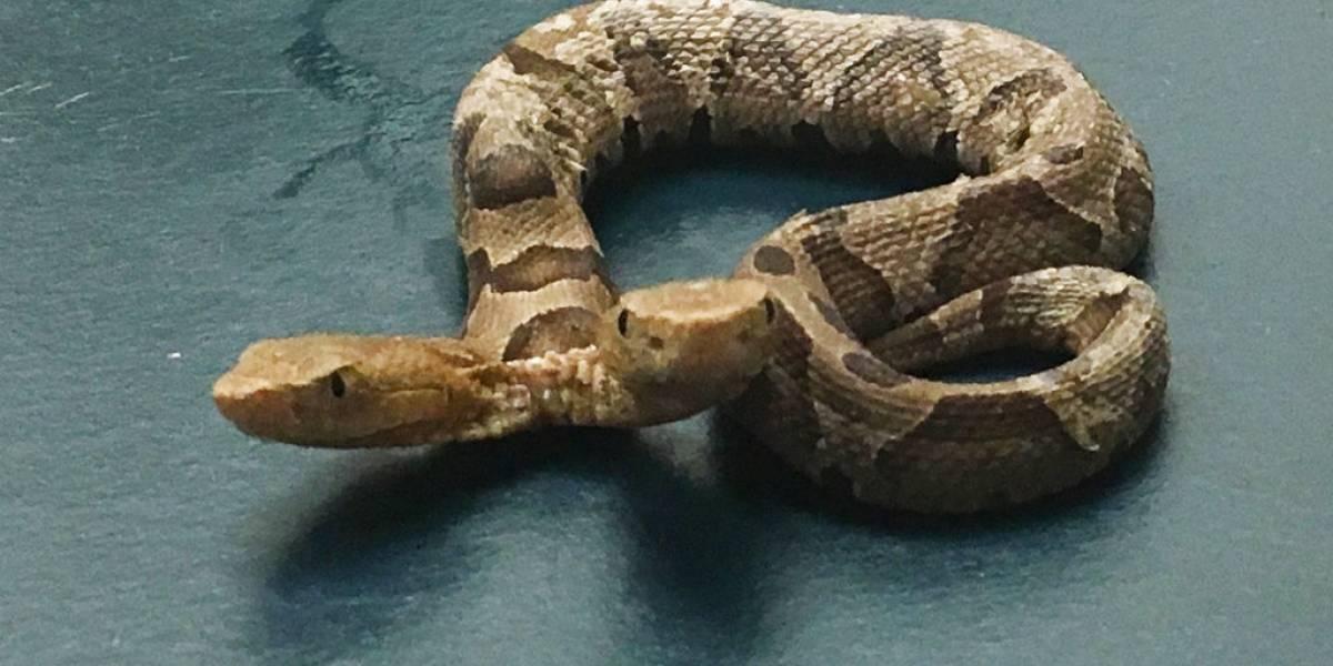 Encuentran serpiente de dos cabezas en un vecindario