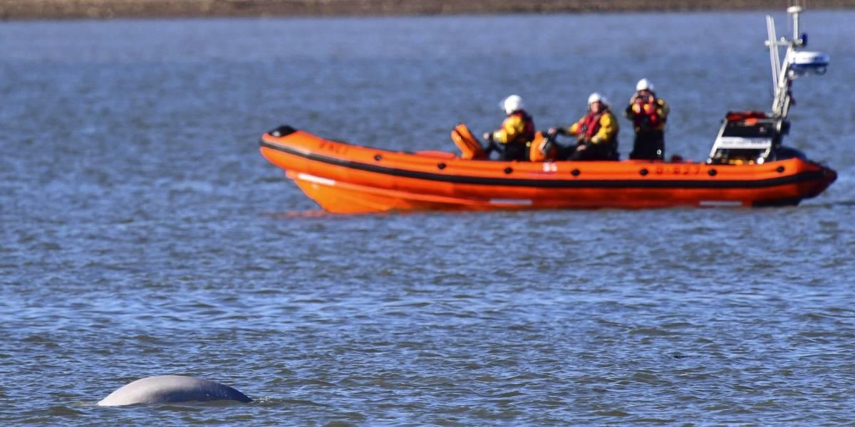Protegen beluga mientras encuentra su camino a mar abierto