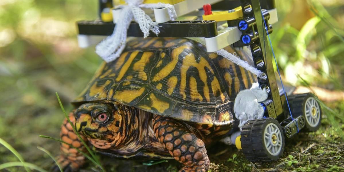 Ahora tiene una segunda oportunidad: tortuga con caparazón roto camina en silla de ruedas de Lego