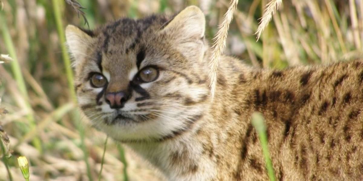 El felino más pequeño de América vive en Chile, pero está en serio peligro de extinción