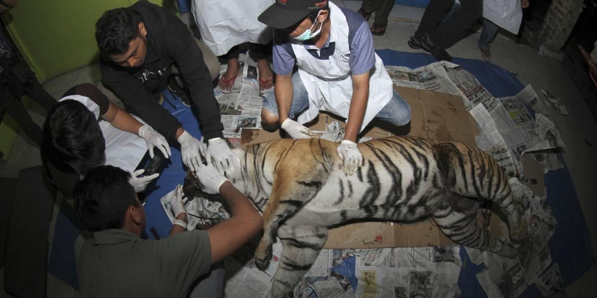 Tigresa de Sumatra, uno de los animales más raros del planeta muere de una manera brutal