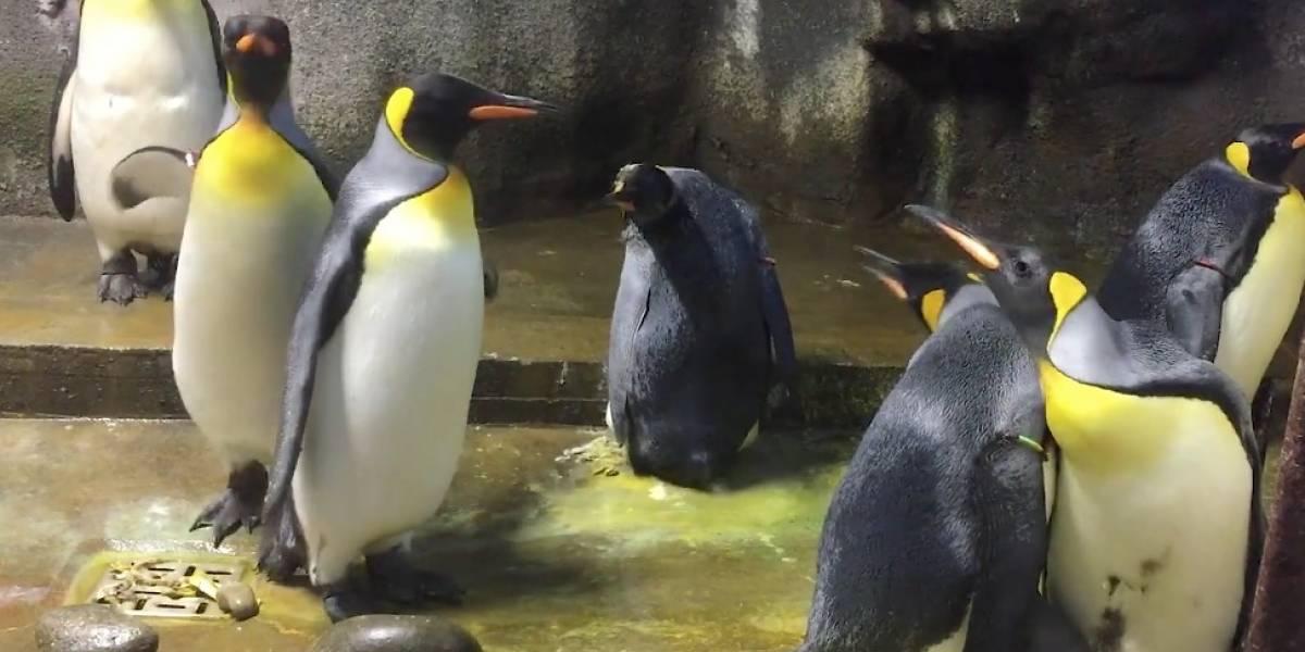 """Querían cumplir su sueño: pareja de pingüinos homosexuales """"secuestra"""" cría para poder ser padres"""