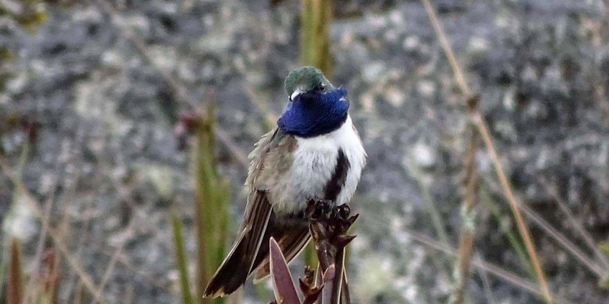 Una vez más el hombre tiene la culpa: descubren nueva especie de colibrí y después de un año está en riesgo crítico de extinción