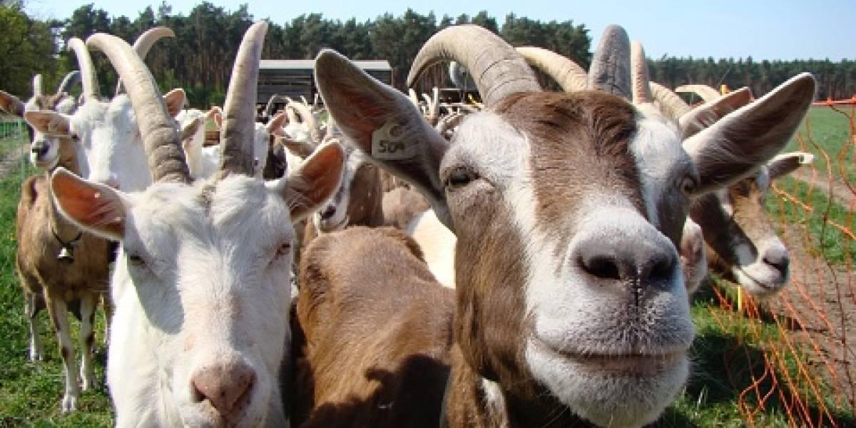 El extraño grupo de cabras de montaña adictas a la orina humana que aterroriza a los visitantes de parque en EEUU