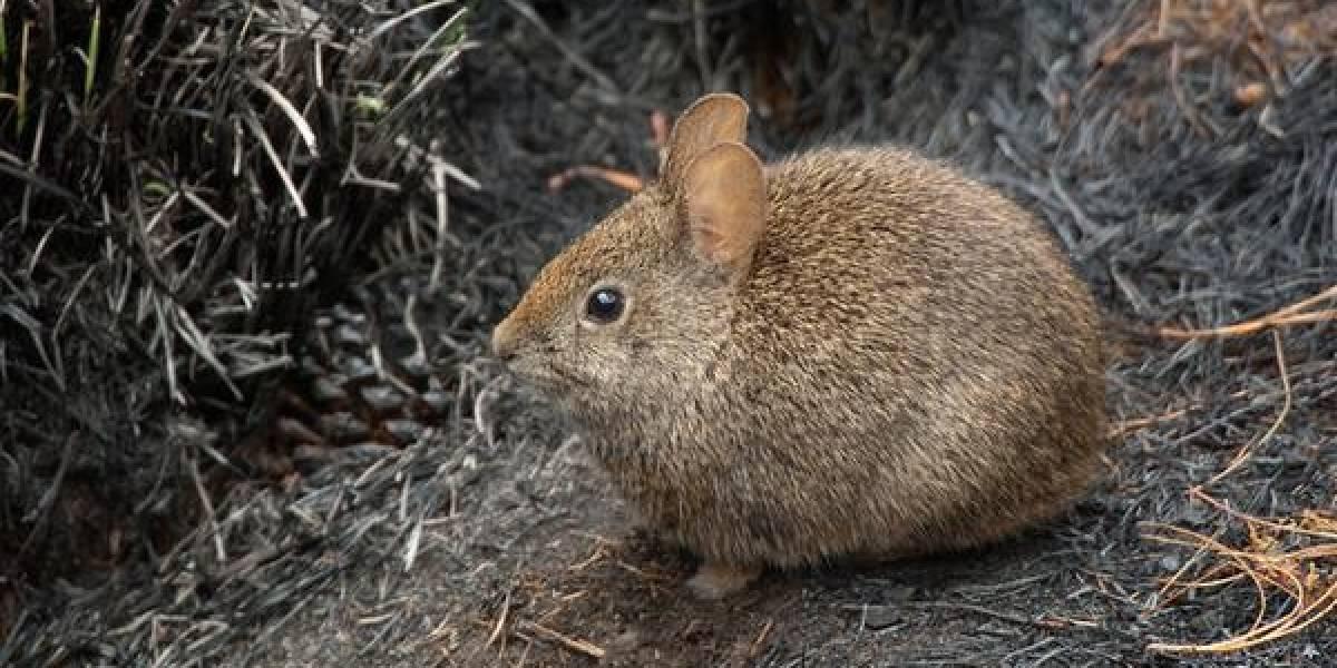 México le dice adiós a otra especie única: el conejo teporingo está extinto