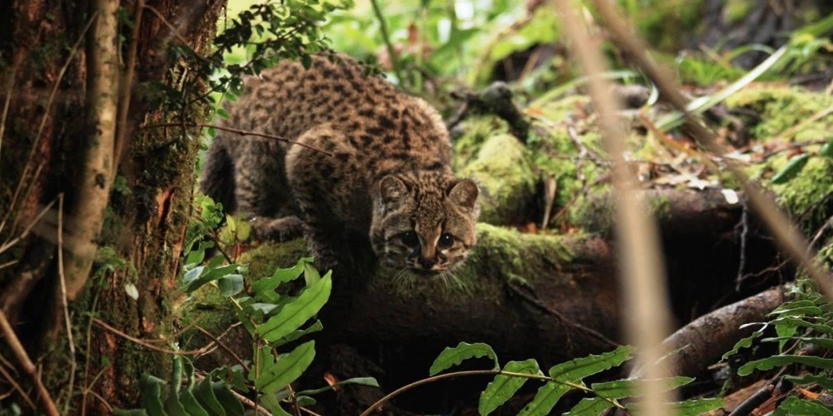 Inédito proyecto en Chile busca recuperar al felino más pequeño de América