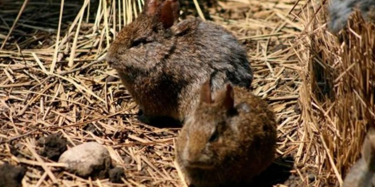 El conejo teporingo de México es declarado extinto