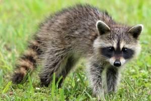 raccoon1905528960720-9977af35623a43993cf43723cc9f2105.jpg