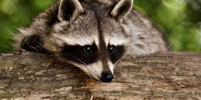 raccoon3538081960720-3ccbf81fce6047a292b9a7659eb6c3e3.jpg