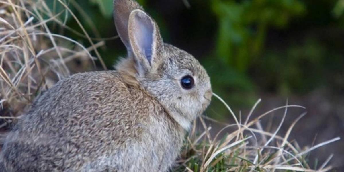México: Siempre no, el conejo teporingo no está completamente extinto... Todavía...