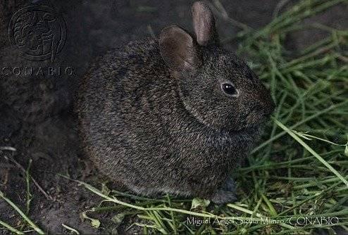 Fue en el Nevado de Toluca donde se analizó que no había presencia de este conejo endémico de México Foto: CONANP