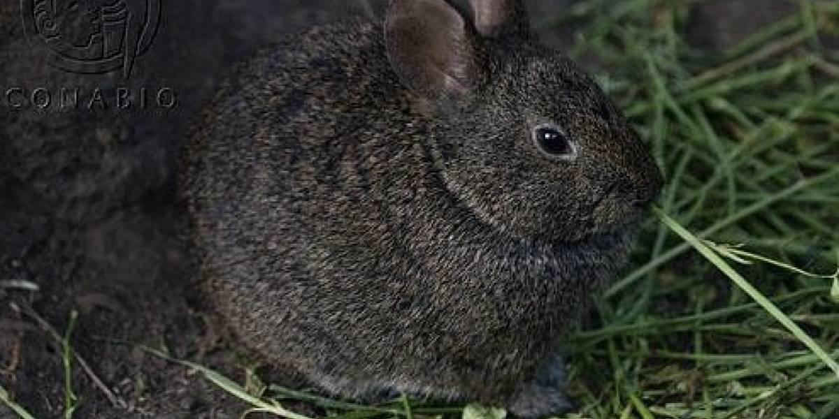 Videos revelan que el conejo teporingo no está extinto