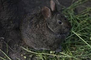 Conejo Teporingo