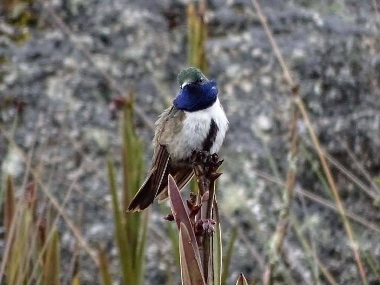 """Descubren el colibrí """"Estrella de garganta azul"""" en el Oro y Loja"""