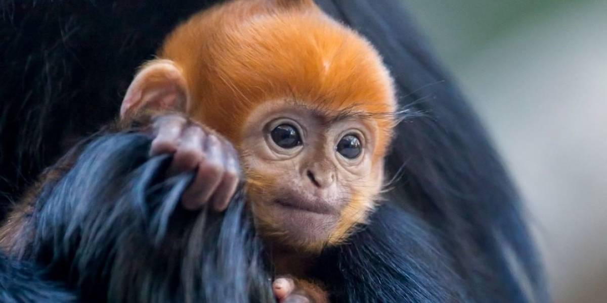 Filhote de espécie rara de macaco nasce com pelo laranja e disputa atenção de fêmeas em zoo