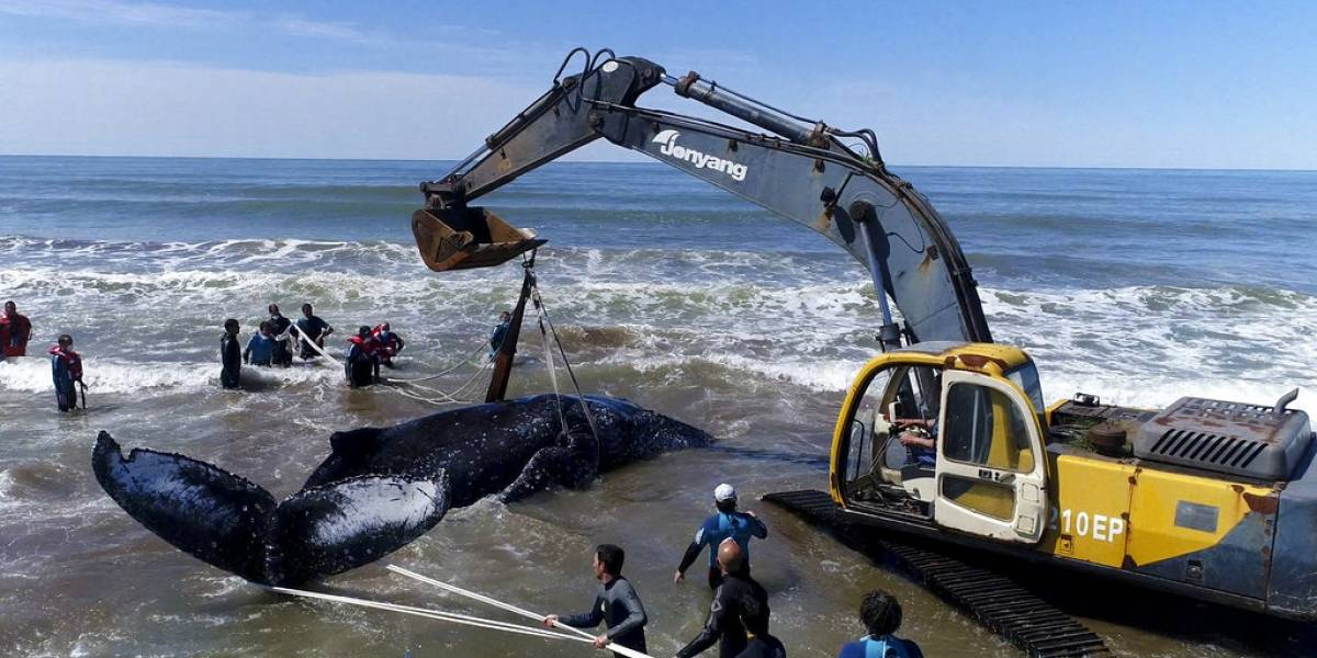 Devuelven al mar a ballena jorobada encallada