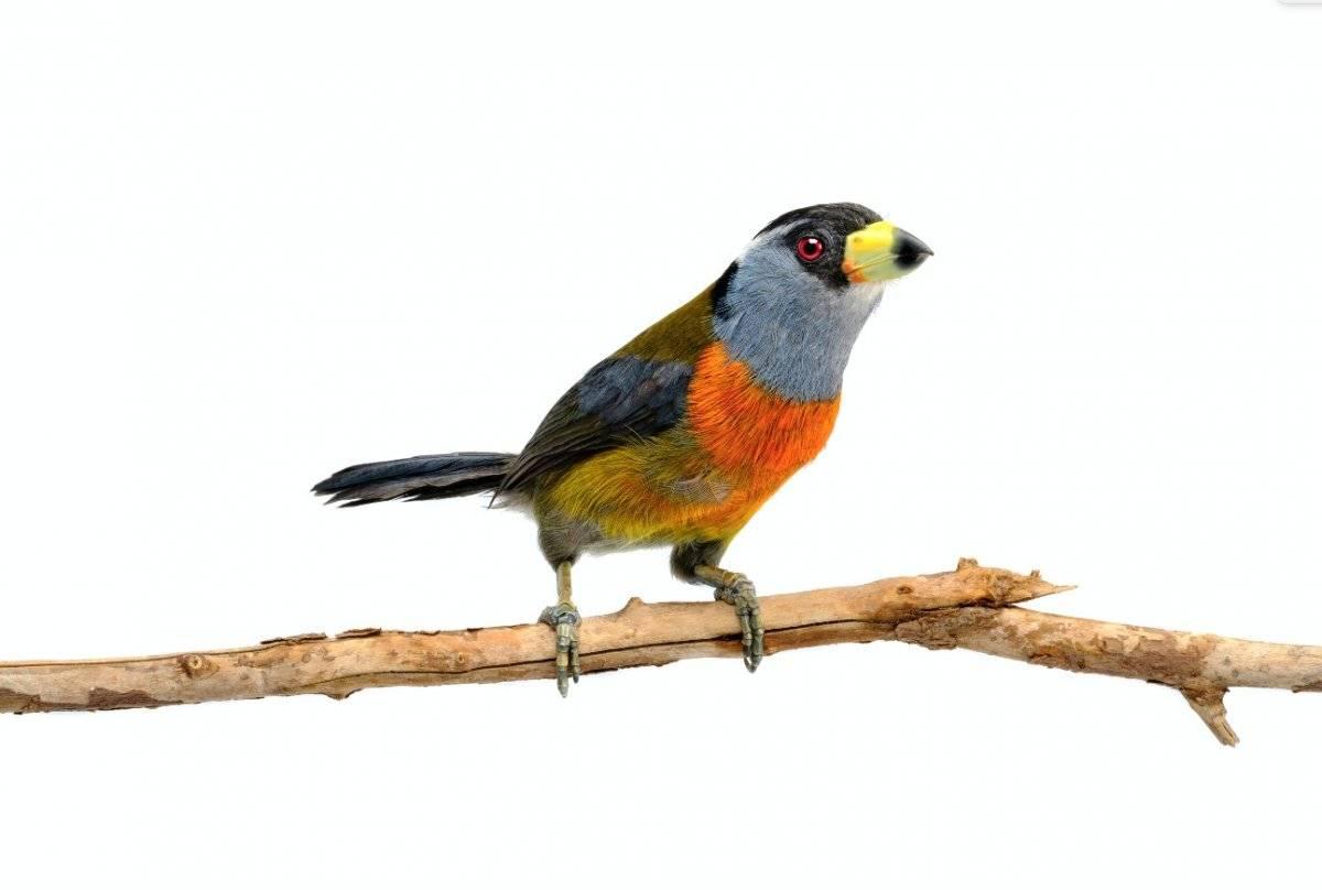 Pájaro yumbo regresó al bosque