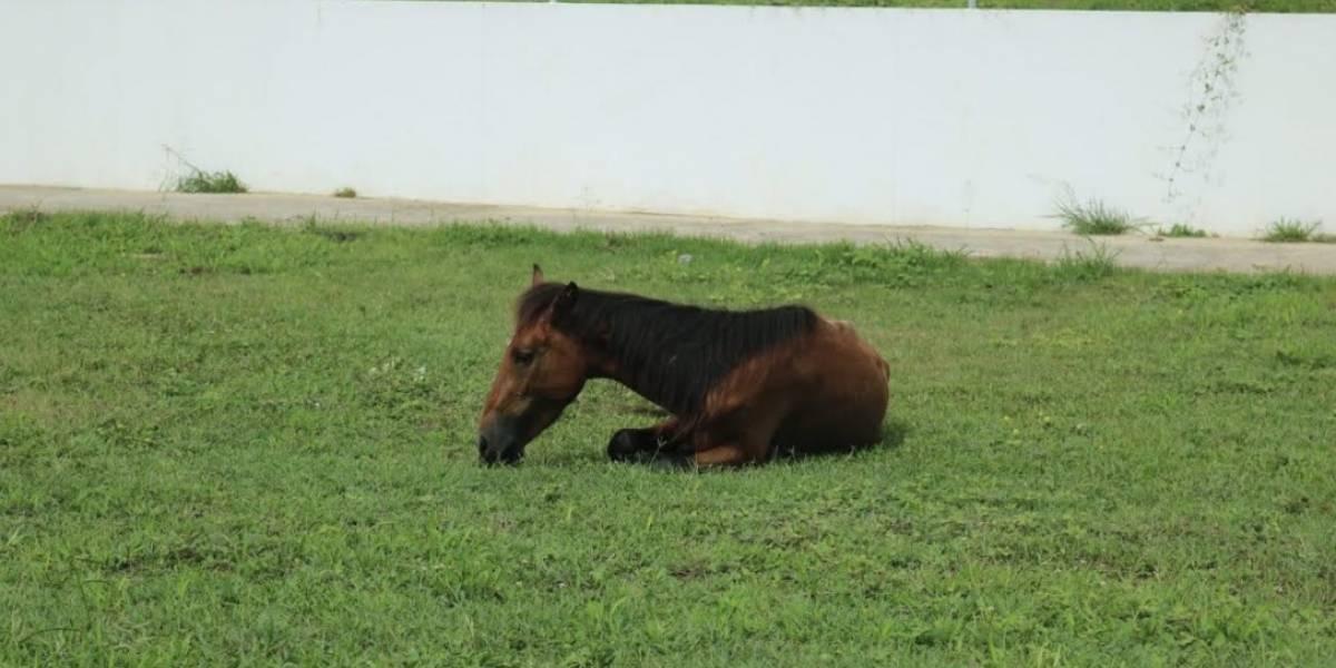 Preocupado el alcalde de Guánica con problema de caballos realengos