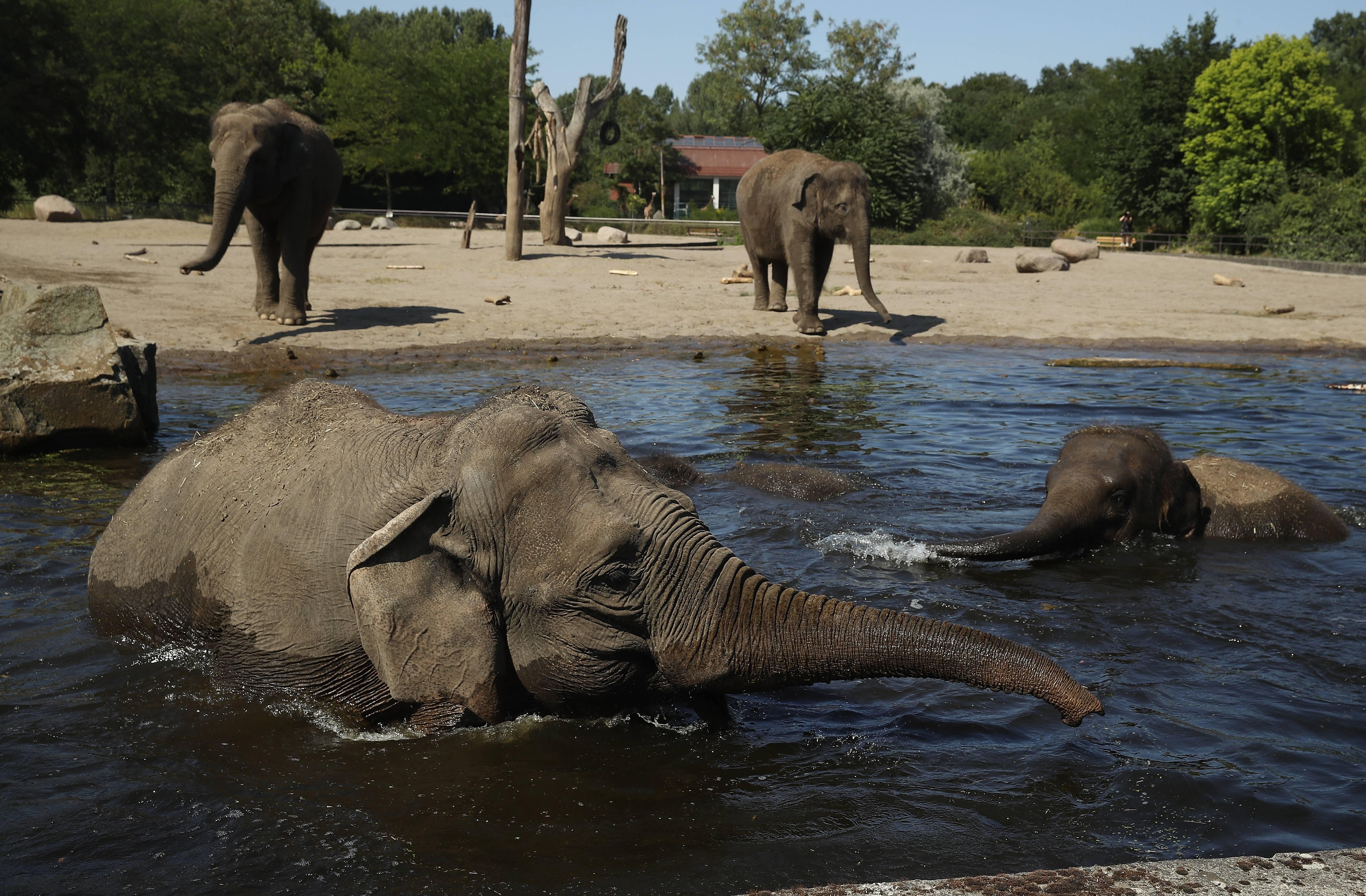 Científicos descubrieron por qué la piel de los elefantes es tan arrugada