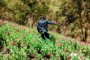 Cultivo de amapola