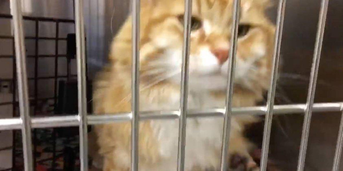 La increíble odisea del gato que anduvo 1.500 kms, estuvo perdido durante un año y medio y regresó en avión para reencontrarse con sus dueños