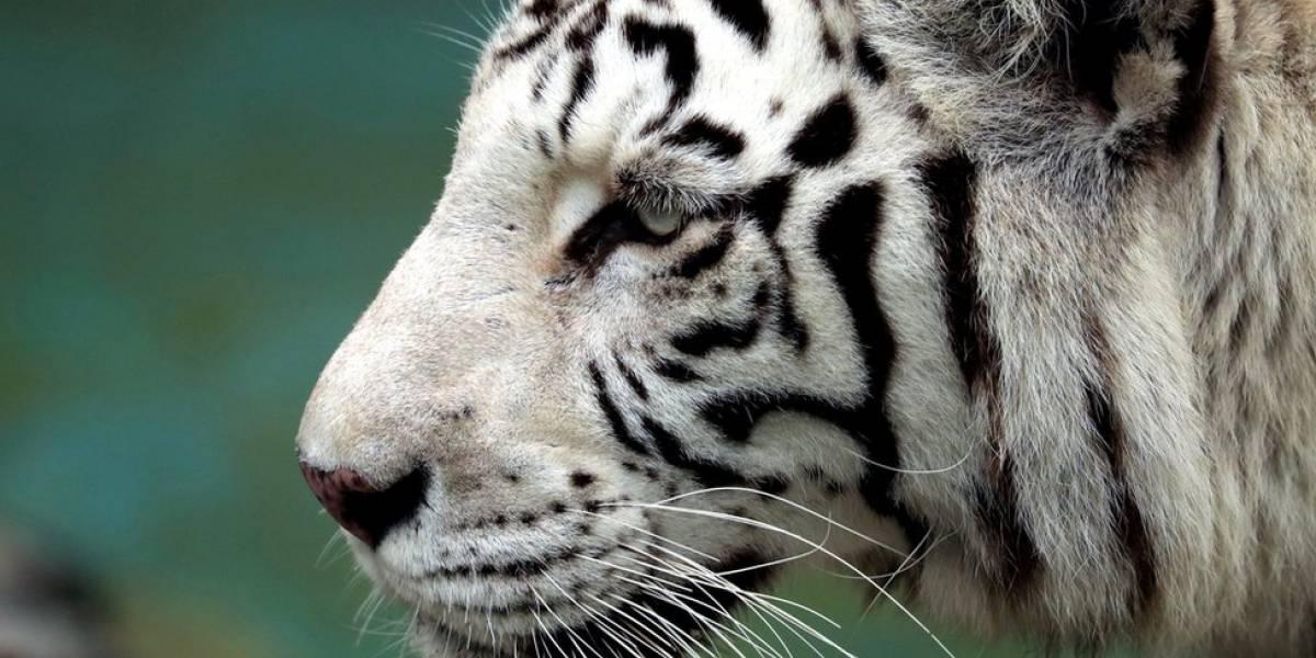 Tigre branco raro mata cuidador em zoológico no Japão