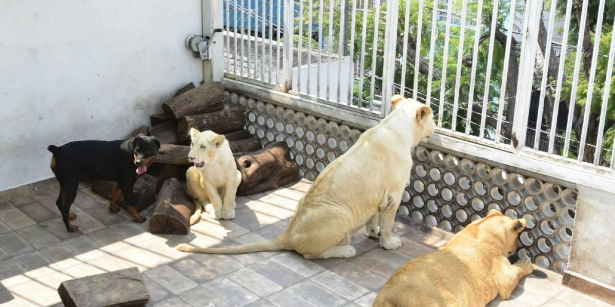 FOTOS: Tres leones africanos y un perro, las mascotas de un hombre en Iztacalco