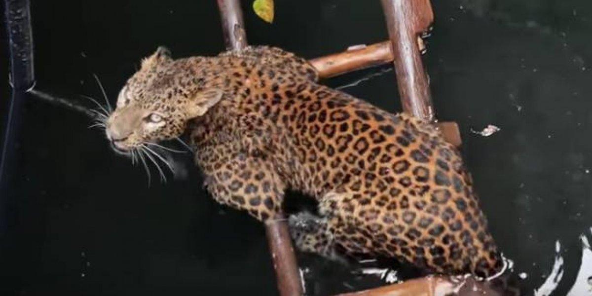 Estuvo muy cerca de ahogarse: el notable trabajo en equipo de un grupo de rescate que logró salvar a un leopardo que cayó en un pozo de 9 metros de profundidad