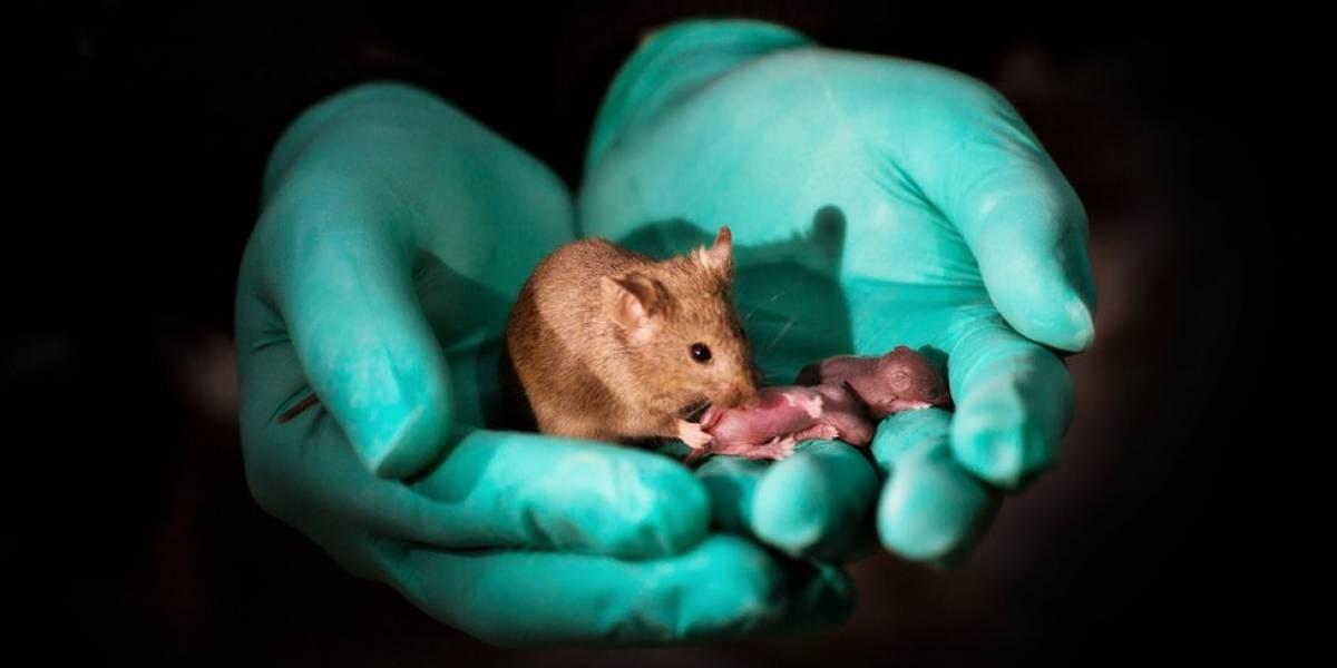Como cientistas chineses conseguiram que ratos do mesmo sexo se reproduzissem