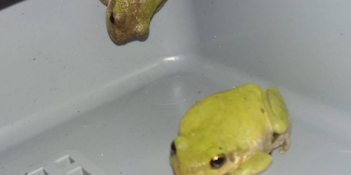 """""""Una saltó en mi cara mientras estaba acostado"""": lluvia de ranas es la otra consecuencia que traen consigo los huracanes"""