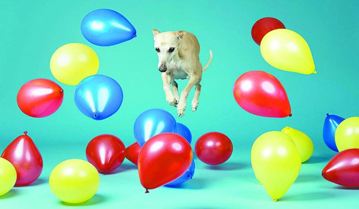 O cachorro que conseguia estourar balões mais rápido