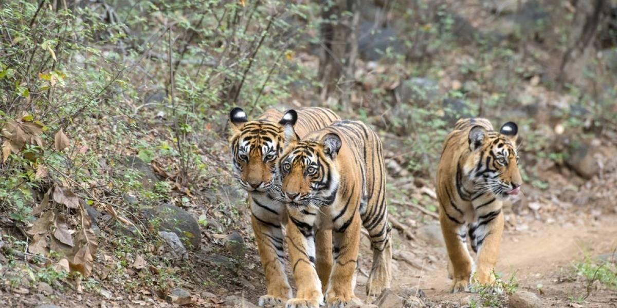 O dilema da Índia sobre o que fazer com tigres que devoram pessoas