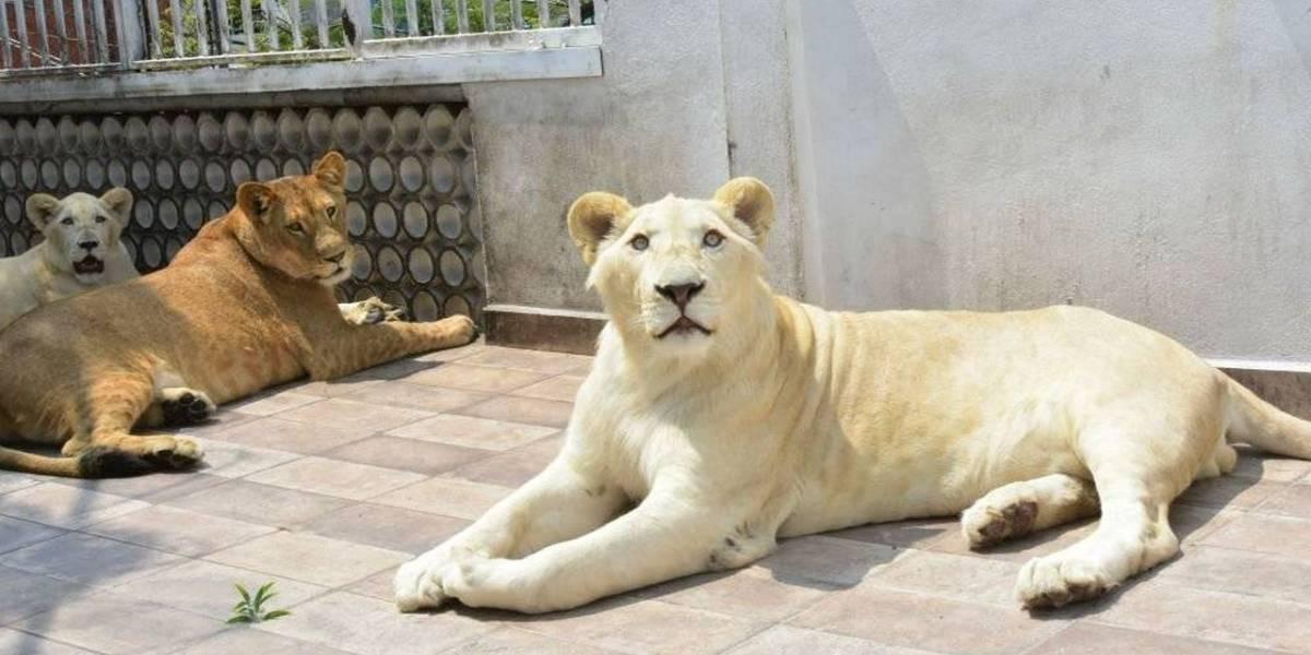 Un hombre tenía tres leones africanos como mascotas en la azotea de su casa