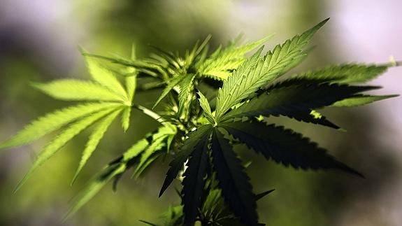 marihuana575x323-fdcd1146fc37c3ed718e36bcf3a0c59f.jpg